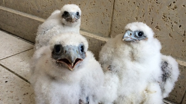 4 Peregrine Falcons born on top of US Bank in La Crosse